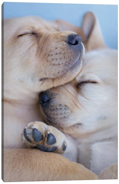 Golden Labrador Puppies Canvas Art Print