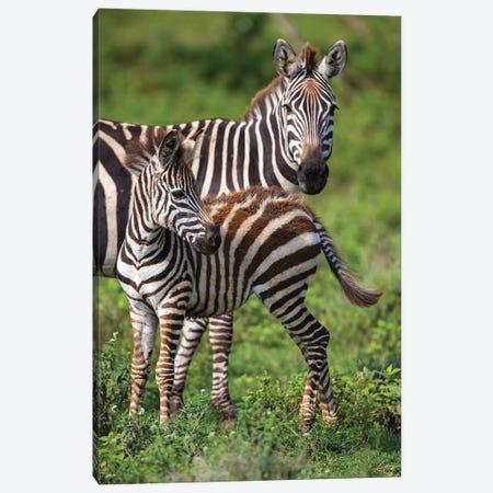 Africa. Tanzania. Female Zebra with colt, Serengeti National Park. Canvas Print #RHB10} by Ralph H. Bendjebar Canvas Art Print