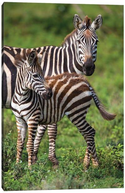 Africa. Tanzania. Female Zebra with colt, Serengeti National Park. Canvas Art Print