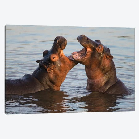 Africa. Tanzania. Hippopotamus, Serengeti National Park. Canvas Print #RHB12} by Ralph H. Bendjebar Canvas Art Print