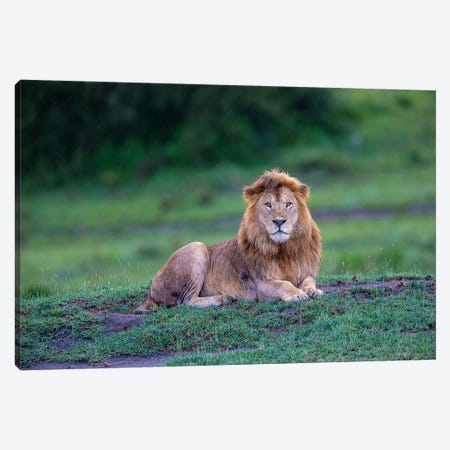 Africa. Tanzania. Male African Lion at Ndutu, Serengeti National Park. Canvas Print #RHB13} by Ralph H. Bendjebar Canvas Art Print