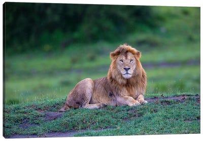 Africa. Tanzania. Male African Lion at Ndutu, Serengeti National Park. Canvas Art Print