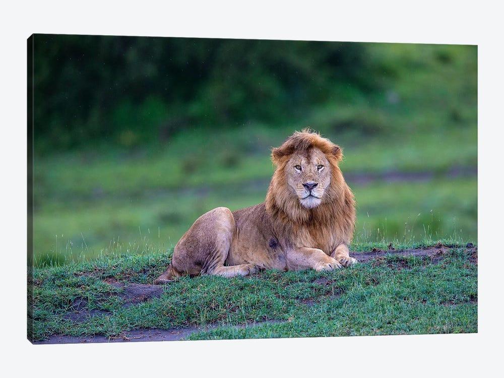 Africa. Tanzania. Male African Lion at Ndutu, Serengeti National Park. by Ralph H. Bendjebar 1-piece Canvas Print