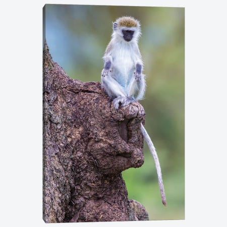 Africa. Tanzania. Vervet monkey juvenile at Ngorongoro Crater. Canvas Print #RHB16} by Ralph H. Bendjebar Canvas Art