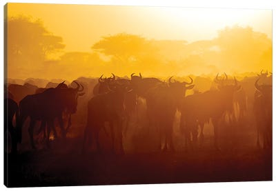 Africa. Tanzania. Wildebeest during the Migration, Serengeti National Park. Canvas Art Print