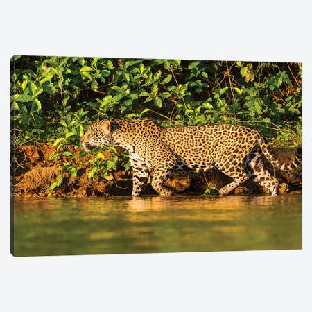 Brazil. A female jaguar hunting along the banks of a river in the Pantanal Canvas Print #RHB18} by Ralph H. Bendjebar Canvas Print