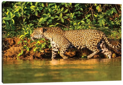 Brazil. A female jaguar hunting along the banks of a river in the Pantanal Canvas Art Print