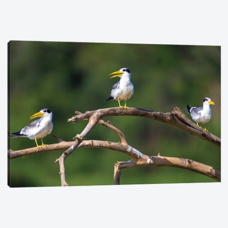 Brazil. A group of large-billed terns perches along the banks of a river in the Pantanal. 3-Piece Canvas #RHB19} by Ralph H. Bendjebar Art Print
