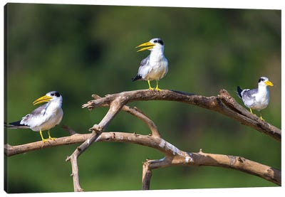 Brazil. A group of large-billed terns perches along the banks of a river in the Pantanal. Canvas Art Print