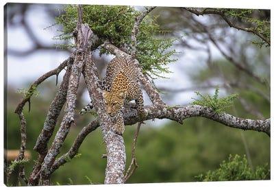 Africa. Tanzania. African leopard descending a tree, Serengeti National Park. Canvas Art Print