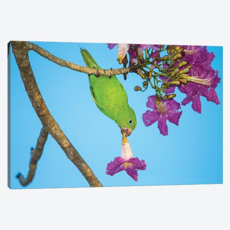Brazil. A yellow-Chevroned parakeet harvesting the blossoms of a pink trumpet tree in the Pantanal. Canvas Print #RHB20} by Ralph H. Bendjebar Canvas Art