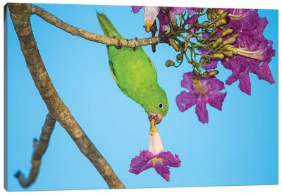 Brazil. A yellow-Chevroned parakeet harvesting the blossoms of a pink trumpet tree in the Pantanal. Canvas Art Print