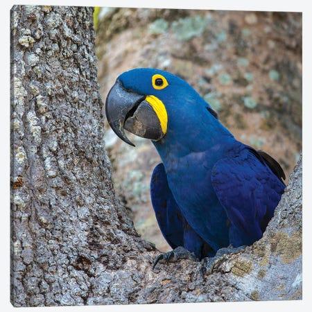 Brazil. Hyacinth macaw in the Pantanal I Canvas Print #RHB21} by Ralph H. Bendjebar Canvas Artwork