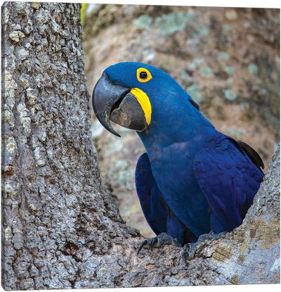 Brazil. Hyacinth macaw in the Pantanal I Canvas Art Print