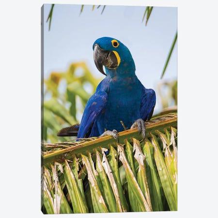 Brazil. Hyacinth macaw in the Pantanal II Canvas Print #RHB22} by Ralph H. Bendjebar Canvas Artwork