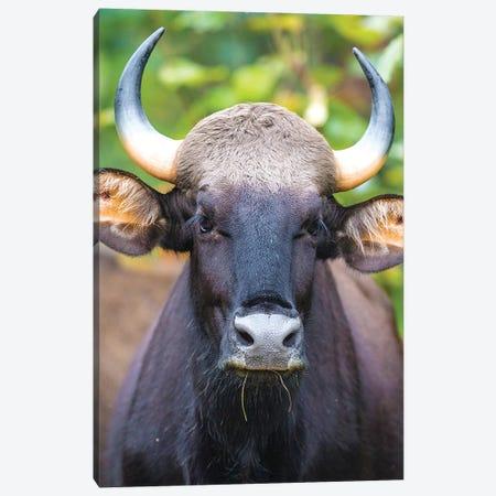 India. Gaur, Indian wild bison, Bos gaurus, at Kanha tiger reserve I Canvas Print #RHB25} by Ralph H. Bendjebar Art Print