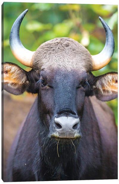 India. Gaur, Indian wild bison, Bos gaurus, at Kanha tiger reserve I Canvas Art Print