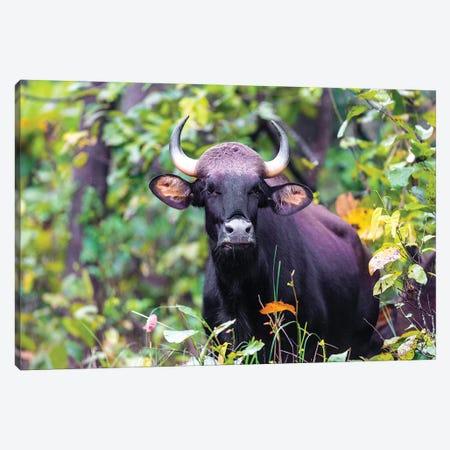 India. Gaur, Indian wild bison, Bos gaurus, at Kanha tiger reserve II Canvas Print #RHB26} by Ralph H. Bendjebar Canvas Art Print