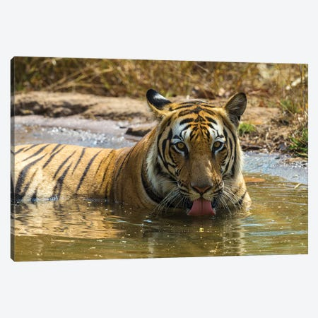 India. Male Bengal tiger enjoys the cool of a water hole at Bandhavgarh Tiger Reserve I Canvas Print #RHB27} by Ralph H. Bendjebar Canvas Print