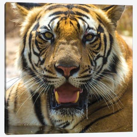 India. Male Bengal tiger enjoys the cool of a water hole at Bandhavgarh Tiger Reserve II Canvas Print #RHB28} by Ralph H. Bendjebar Canvas Art