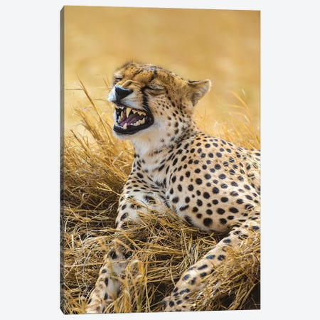 Tanzania. Cheetah yawning after a hunt on the plains of the Serengeti National Park. Canvas Print #RHB29} by Ralph H. Bendjebar Canvas Art