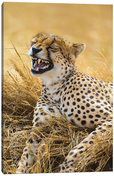 Tanzania. Cheetah yawning after a hunt on the plains of the Serengeti National Park. Canvas Art Print