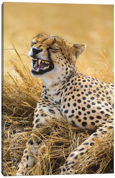 Tanzania. Cheetah yawning after a hunt on the plains of the Serengeti National Park. Canvas Art Print
