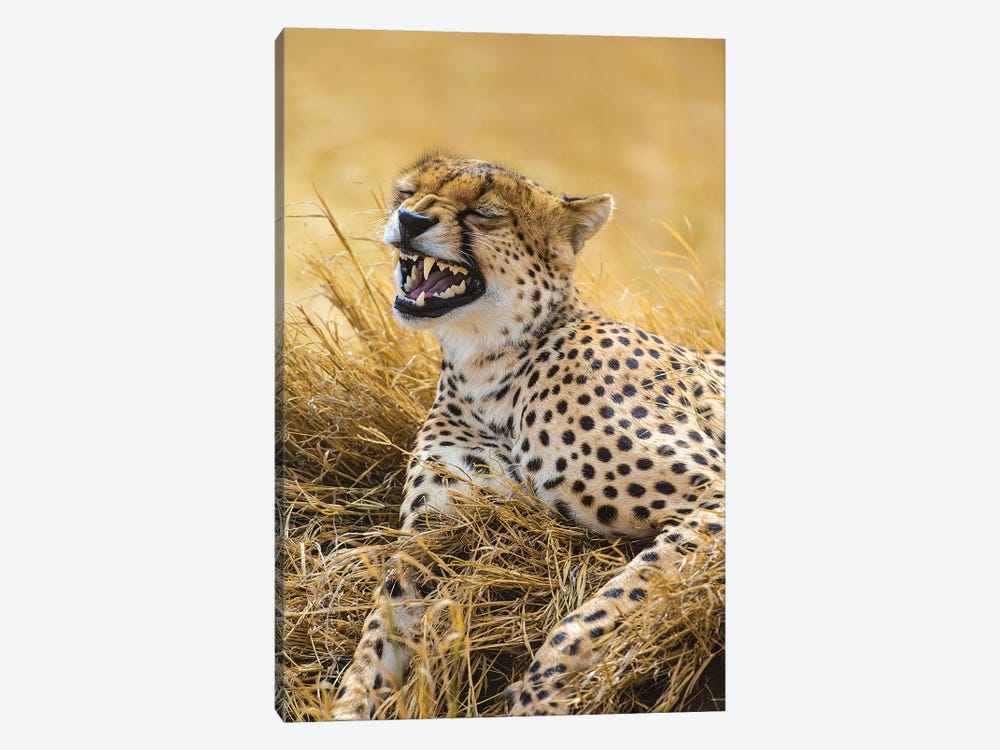 Tanzania. Cheetah yawning after a hunt on the plains of the Serengeti National Park. by Ralph H. Bendjebar 1-piece Canvas Art