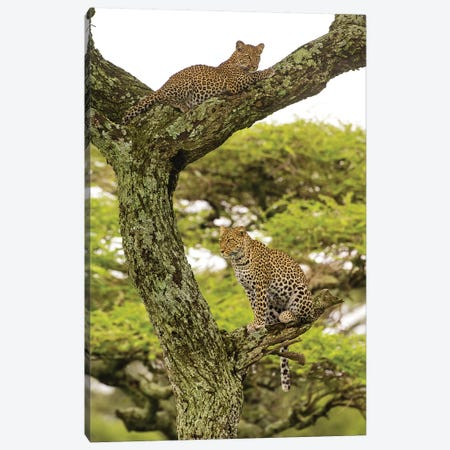 Africa. Tanzania. African leopard mother and cub in a tree, Serengeti National Park. Canvas Print #RHB2} by Ralph H. Bendjebar Art Print