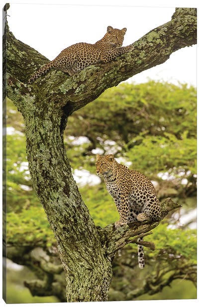 Africa. Tanzania. African leopard mother and cub in a tree, Serengeti National Park. Canvas Art Print