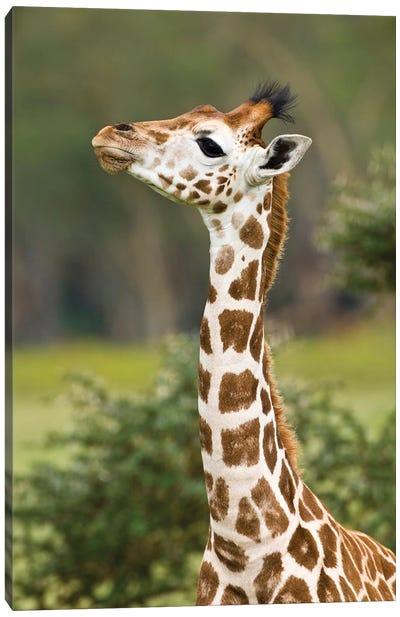 Rothschild's Giraffe Baby At Lake Nakuru Np, Africa. Kenya. Canvas Art Print