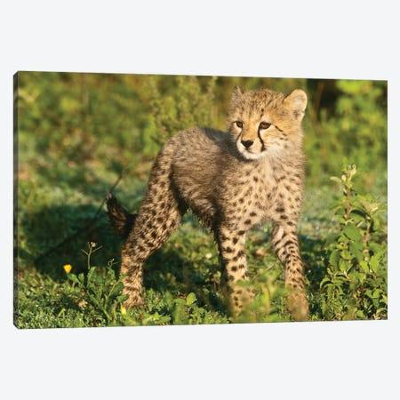 Cheetah Cub At Ndutu In The Ngorongoro Conservation Area, Africa. Tanzania. 3-Piece Canvas #RHB31} by Ralph H. Bendjebar Art Print