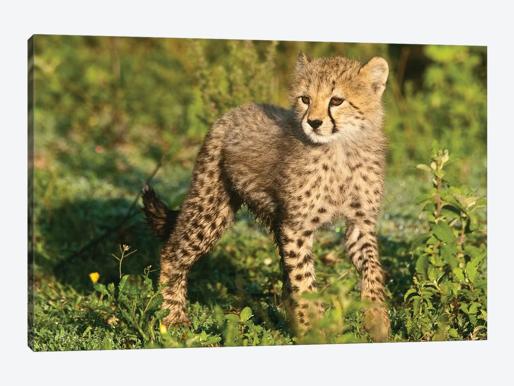 Cheetah Cub At Ndutu In The Ngorongoro Conservation Area, Africa. Tanzania. by Ralph H. Bendjebar 1-piece Art Print