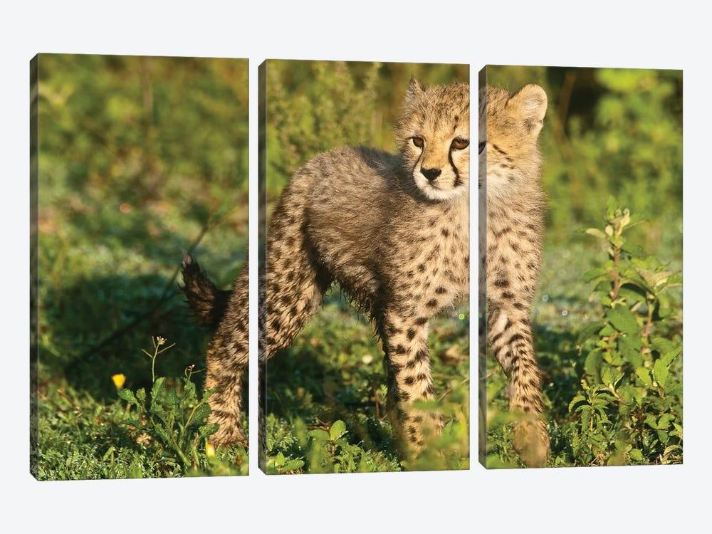 Cheetah Cub At Ndutu In The Ngorongoro Conservation Area, Africa. Tanzania. by Ralph H. Bendjebar 3-piece Canvas Art Print