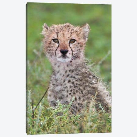 Cheetah Cub At Ndutu In The Ngorongoro Conservation Area, Africa. Tanzania. 3-Piece Canvas #RHB32} by Ralph H. Bendjebar Canvas Art Print