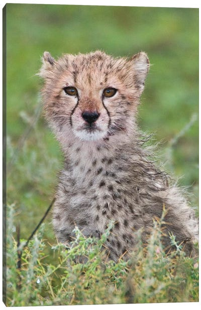 Cheetah Cub At Ndutu In The Ngorongoro Conservation Area, Africa. Tanzania. Canvas Art Print