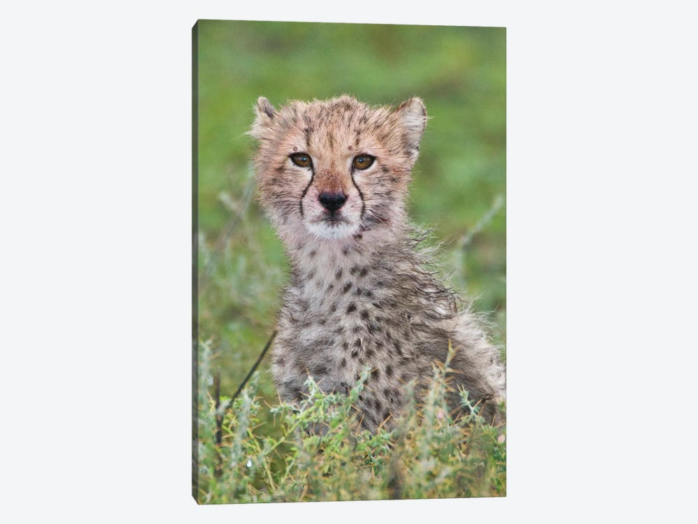 Cheetah Cub At Ndutu In The Ngorongoro Conservation Area, Africa. Tanzania. 1-piece Canvas Art