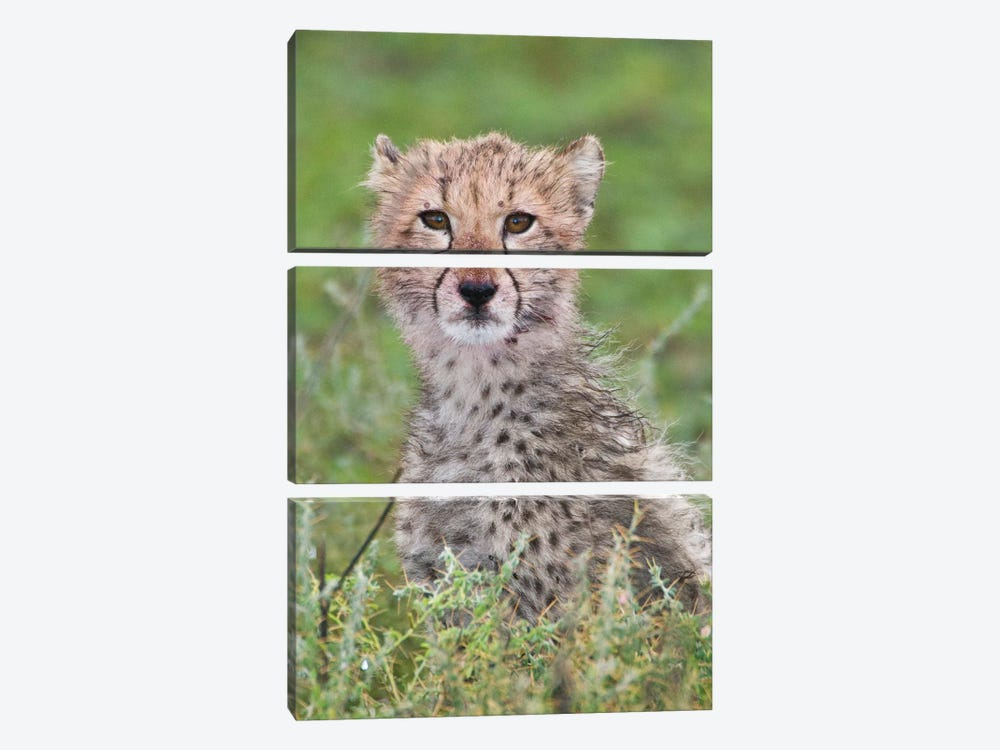 Cheetah Cub At Ndutu In The Ngorongoro Conservation Area, Africa. Tanzania. 3-piece Canvas Artwork