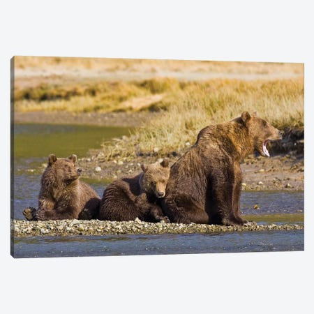 When's Dinner, Ma? First Year Cubs And Mother Contemplate Dinner At Kukak Bay, Katmai, USA. Alaska. Canvas Print #RHB33} by Ralph H. Bendjebar Canvas Art Print