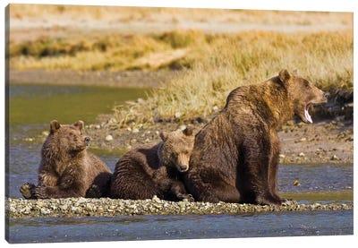 When's Dinner, Ma? First Year Cubs And Mother Contemplate Dinner At Kukak Bay, Katmai, USA. Alaska. Canvas Art Print