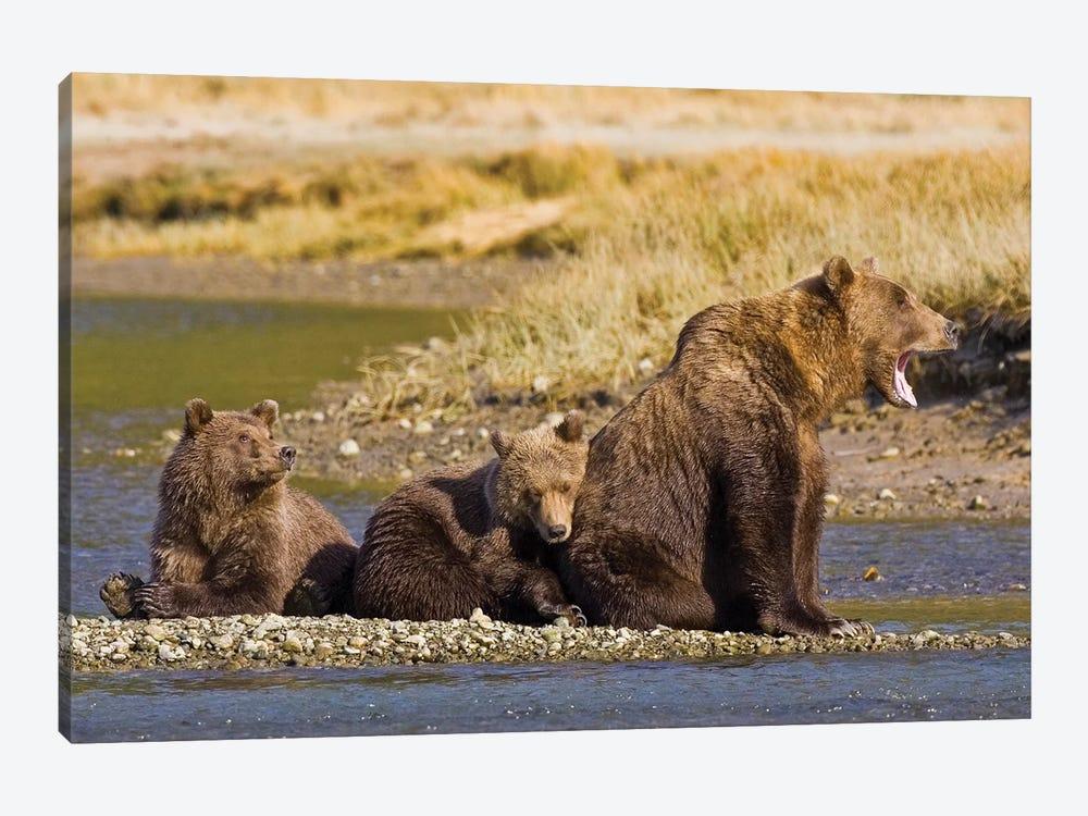 When's Dinner, Ma? First Year Cubs And Mother Contemplate Dinner At Kukak Bay, Katmai, USA. Alaska. by Ralph H. Bendjebar 1-piece Canvas Art Print