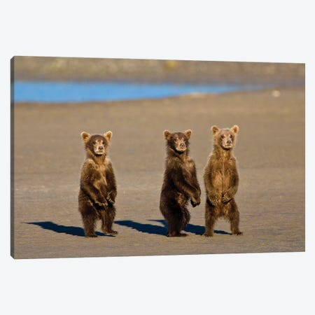 Coastal Brown Bear Cubs Watch Their Mother Fishing For Salmon At Silver Salmon Creek In Lake Clark Np, USA. Alaska. Canvas Print #RHB34} by Ralph H. Bendjebar Canvas Wall Art