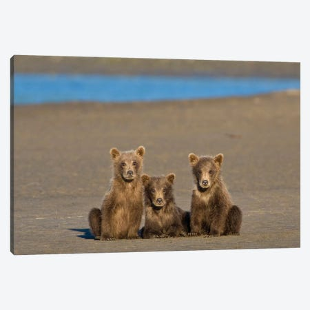 Coastal Brown Bear Cubs Watch Their Mother Fishing For Salmon At Silver Salmon Creek In Lake Clark Np, USA. Alaska. Canvas Print #RHB35} by Ralph H. Bendjebar Canvas Wall Art