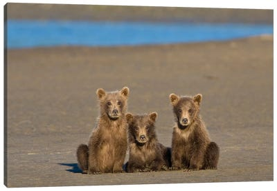 Coastal Brown Bear Cubs Watch Their Mother Fishing For Salmon At Silver Salmon Creek In Lake Clark Np, USA. Alaska. Canvas Art Print