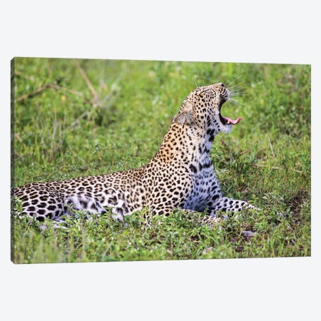 Africa. Tanzania. African leopard yawning, Serengeti National Park. Canvas Print #RHB3} by Ralph H. Bendjebar Canvas Art Print