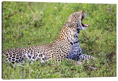 Africa. Tanzania. African leopard yawning, Serengeti National Park. Canvas Art Print