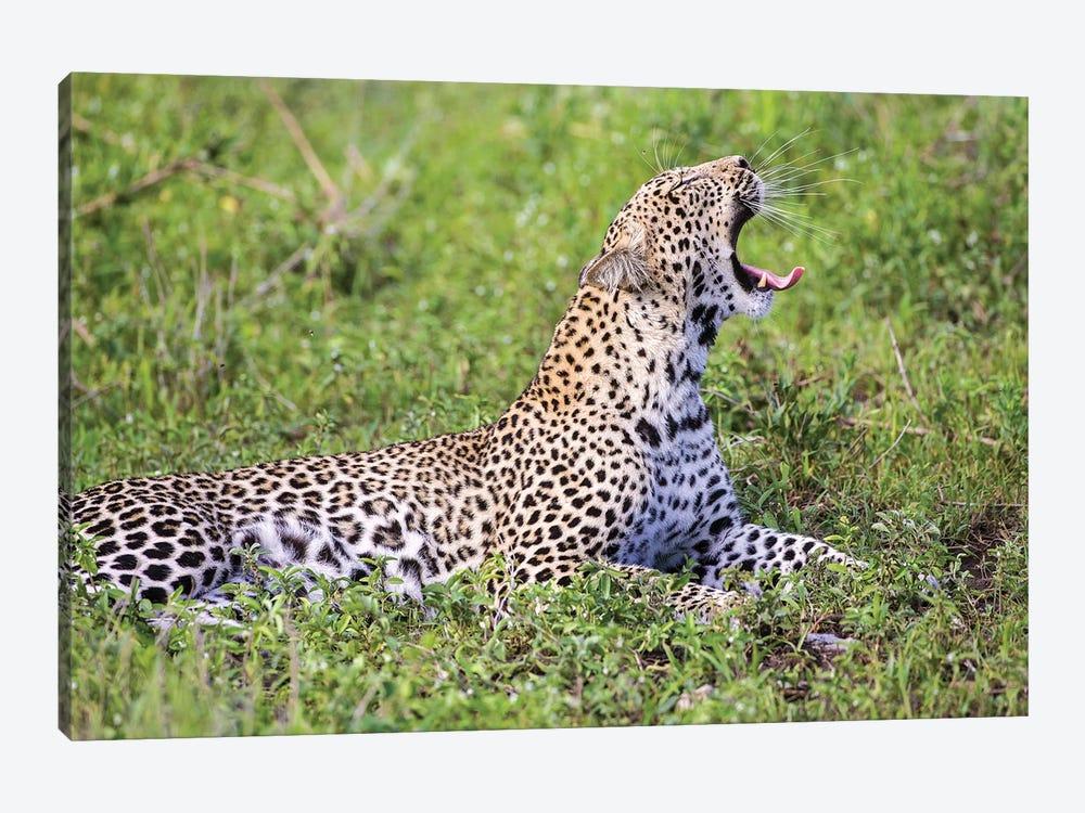 Africa. Tanzania. African leopard yawning, Serengeti National Park. by Ralph H. Bendjebar 1-piece Art Print