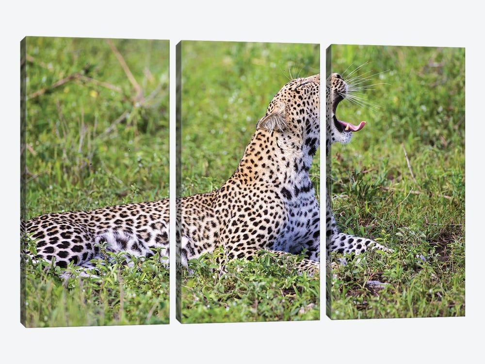 Africa. Tanzania. African leopard yawning, Serengeti National Park. by Ralph H. Bendjebar 3-piece Canvas Art Print