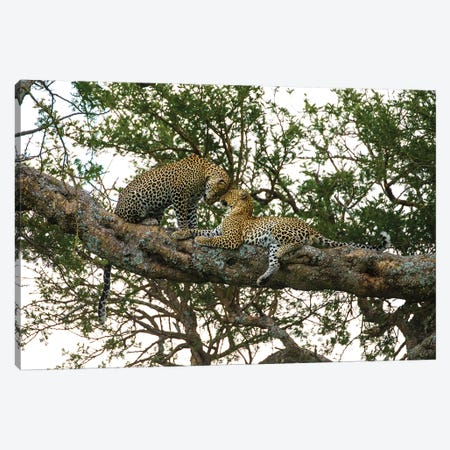 Africa. Tanzania. African leopards in a tree, Serengeti National Park. Canvas Print #RHB4} by Ralph H. Bendjebar Canvas Artwork