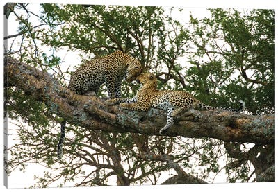 Africa. Tanzania. African leopards in a tree, Serengeti National Park. Canvas Art Print